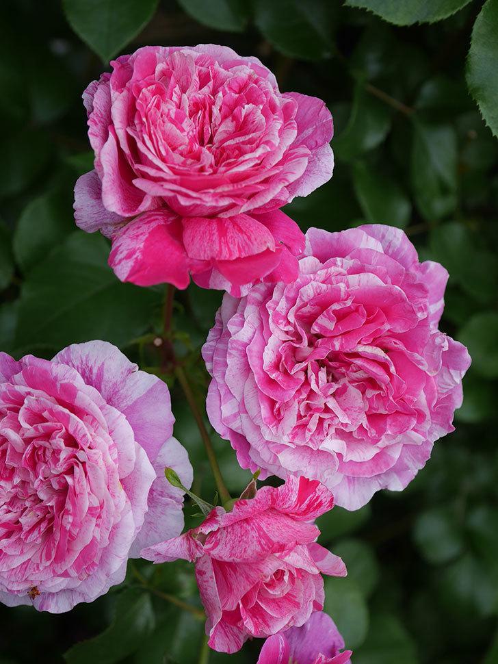 フランボワーズ バニーユ(Framboise Vanille)の花が満開になった。ツルバラ。2020年-039.jpg