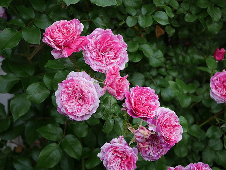 フランボワーズ バニーユ(Framboise Vanille)の花が満開になった。ツルバラ。2020年-040.jpg