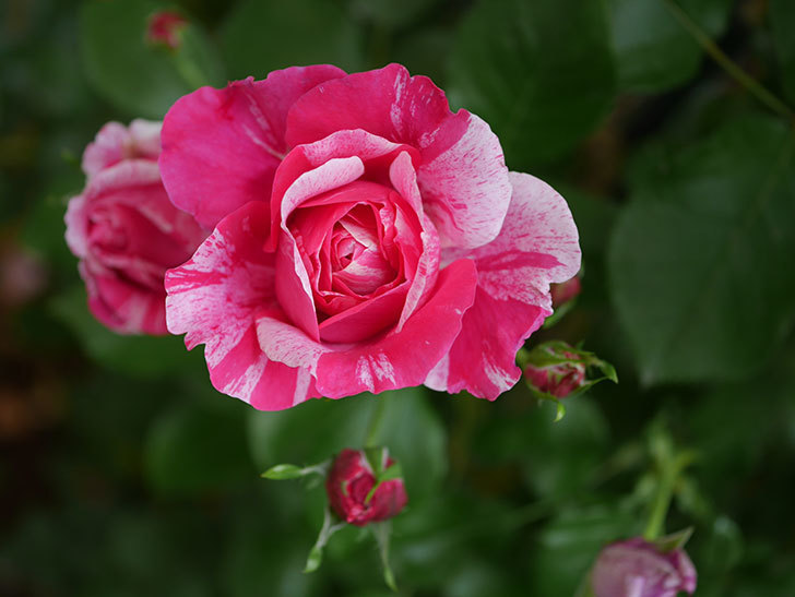 フランボワーズ バニーユ(Framboise Vanille)の花が満開になった。ツルバラ。2020年-041.jpg