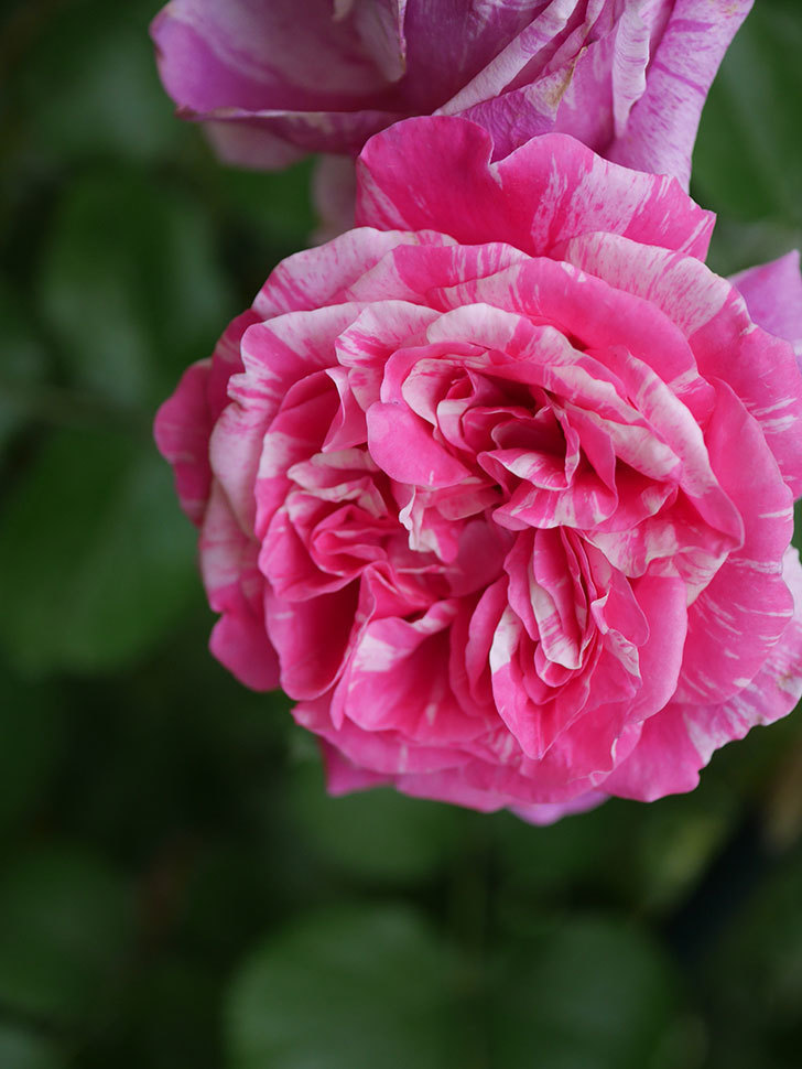 フランボワーズ バニーユ(Framboise Vanille)の花が満開になった。ツルバラ。2020年-042.jpg