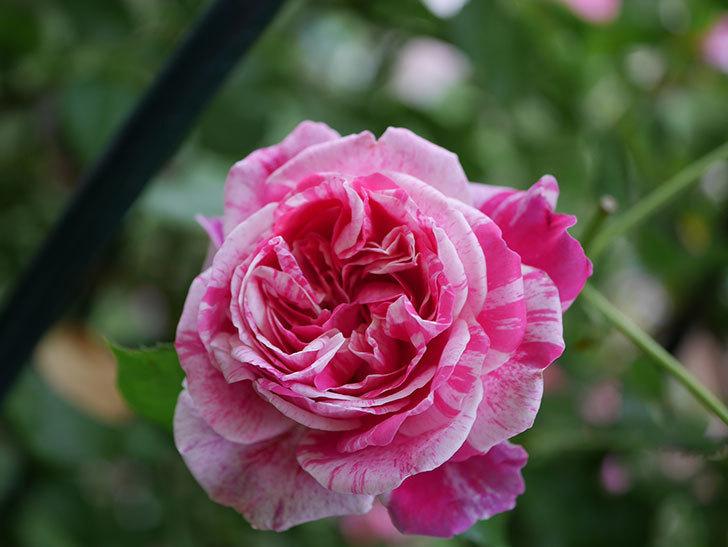 フランボワーズ バニーユ(Framboise Vanille)の花が満開になった。ツルバラ。2020年-043.jpg