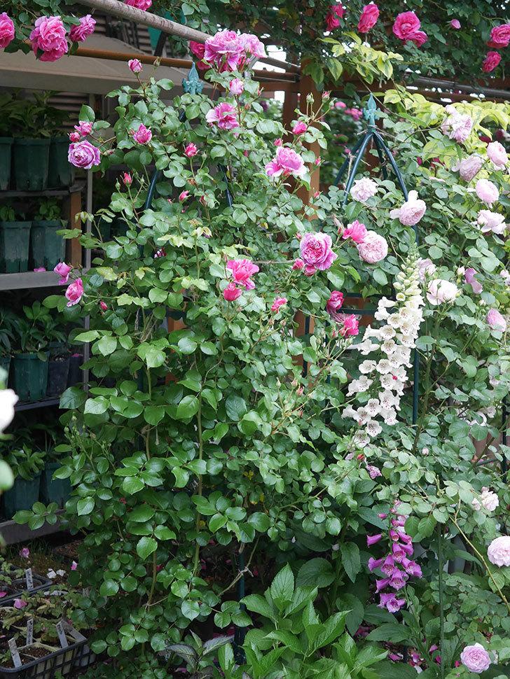 フランボワーズ バニーユ(ツルバラ)の花がたくさん咲いた。2020年-001.jpg