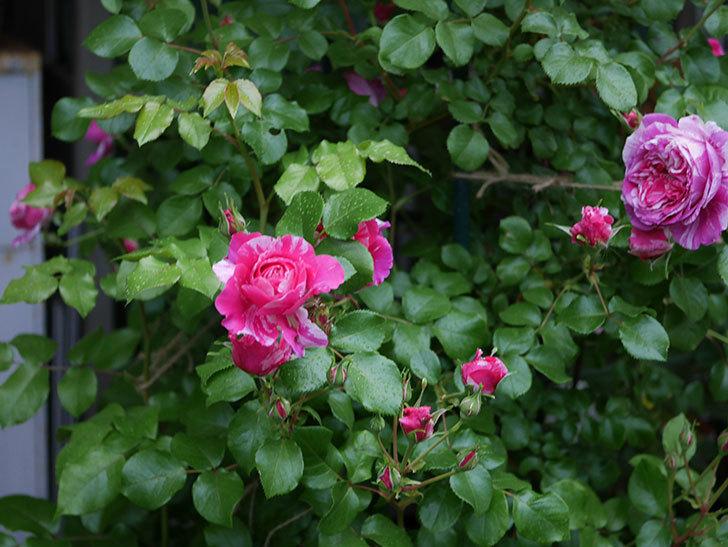 フランボワーズ バニーユ(ツルバラ)の花がたくさん咲いた。2020年-002.jpg