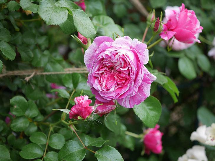 フランボワーズ バニーユ(ツルバラ)の花がたくさん咲いた。2020年-003.jpg