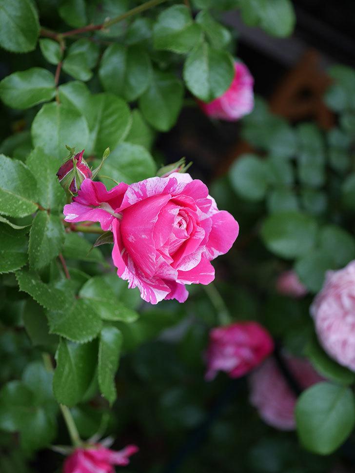 フランボワーズ バニーユ(ツルバラ)の花がたくさん咲いた。2020年-004.jpg