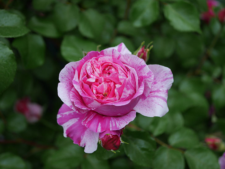 フランボワーズ バニーユ(ツルバラ)の花がたくさん咲いた。2020年-005.jpg
