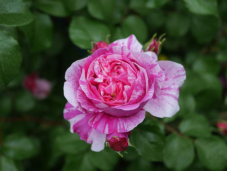 フランボワーズ バニーユ(ツルバラ)の花がたくさん咲いた。2020年-006.jpg