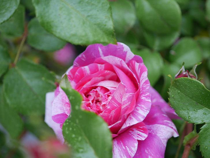 フランボワーズ バニーユ(ツルバラ)の花がたくさん咲いた。2020年-007.jpg