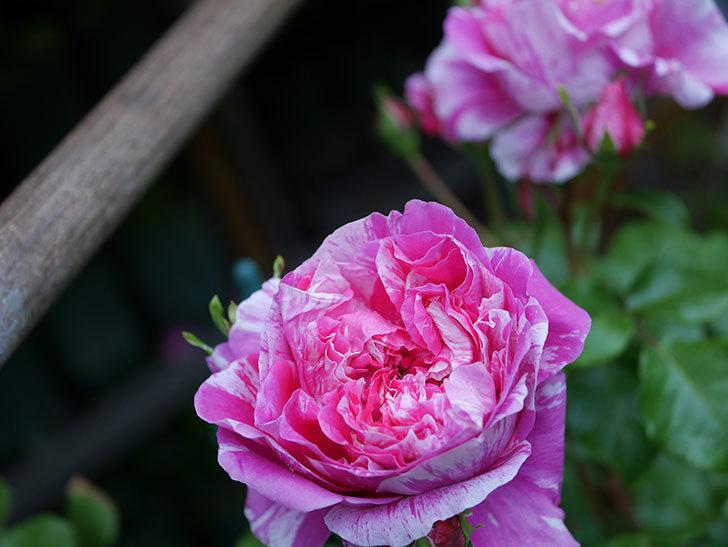 フランボワーズ バニーユ(ツルバラ)の花がたくさん咲いた。2020年-008.jpg