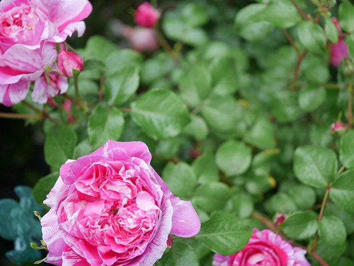 フランボワーズ バニーユ(ツルバラ)の花がたくさん咲いた。2020年-009.jpg
