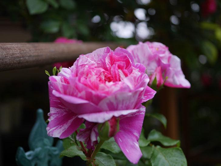 フランボワーズ バニーユ(ツルバラ)の花がたくさん咲いた。2020年-010.jpg