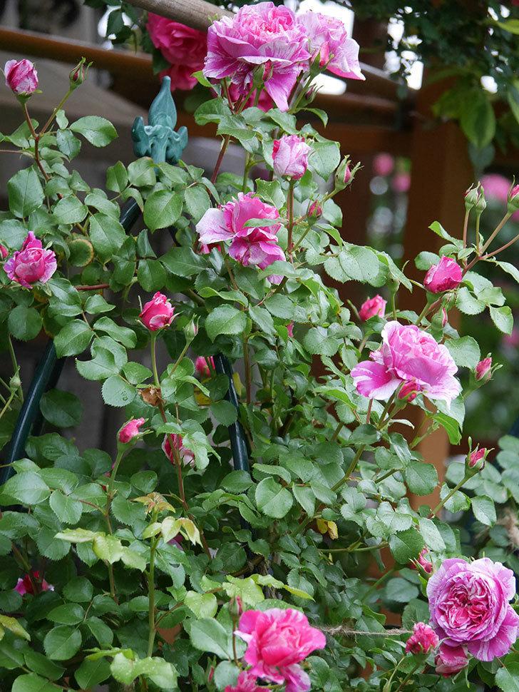 フランボワーズ バニーユ(ツルバラ)の花がたくさん咲いた。2020年-011.jpg