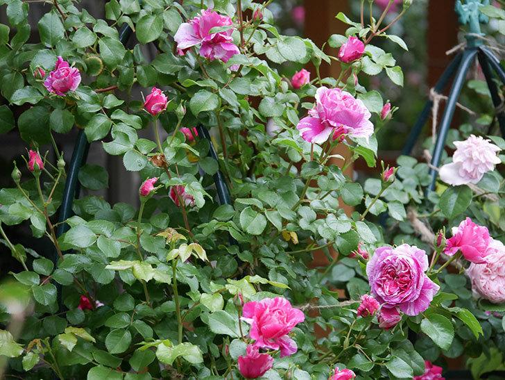 フランボワーズ バニーユ(ツルバラ)の花がたくさん咲いた。2020年-012.jpg