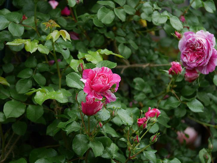 フランボワーズ バニーユ(ツルバラ)の花がたくさん咲いた。2020年-014.jpg