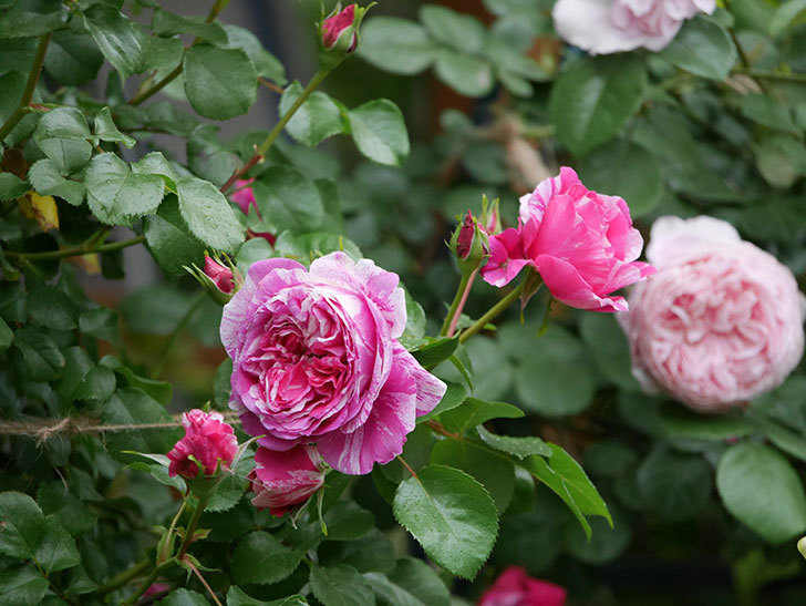 フランボワーズ バニーユ(ツルバラ)の花がたくさん咲いた。2020年-015.jpg
