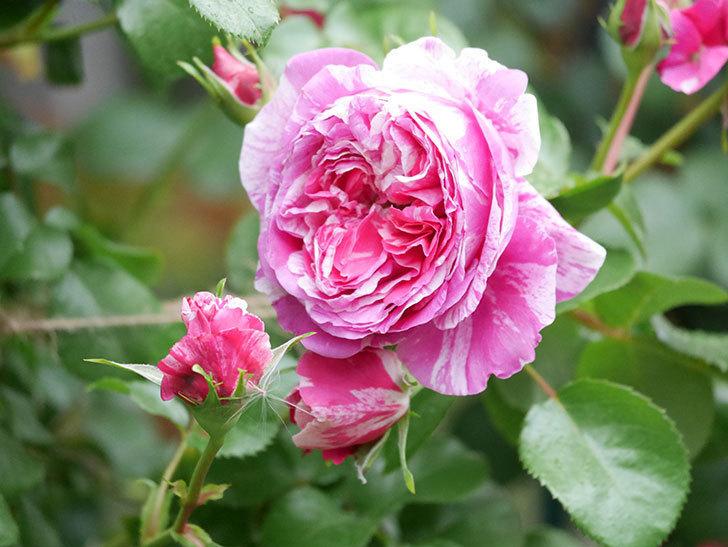 フランボワーズ バニーユ(ツルバラ)の花がたくさん咲いた。2020年-016.jpg