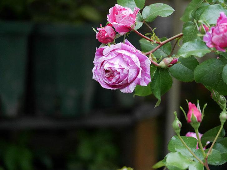 フランボワーズ バニーユ(ツルバラ)の花がたくさん咲いた。2020年-019.jpg