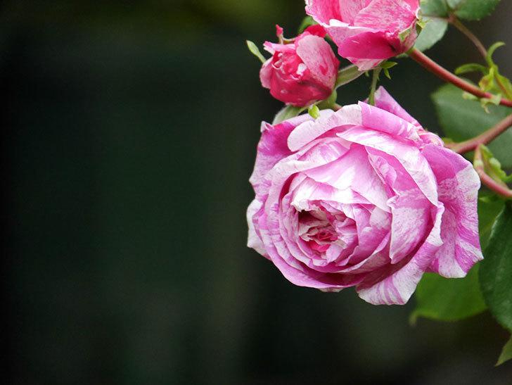 フランボワーズ バニーユ(ツルバラ)の花がたくさん咲いた。2020年-020.jpg