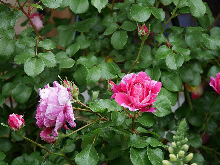 フランボワーズ バニーユ(ツルバラ)の花がたくさん咲いた。2020年-022.jpg