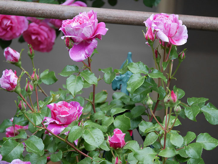 フランボワーズ バニーユ(ツルバラ)の花がたくさん咲いた。2020年-024.jpg