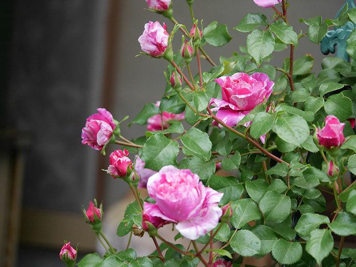 フランボワーズ バニーユ(ツルバラ)の花がたくさん咲いた。2020年-025.jpg