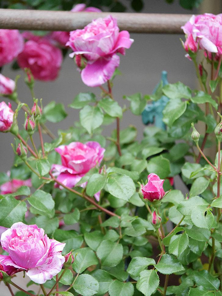 フランボワーズ バニーユ(ツルバラ)の花がたくさん咲いた。2020年-026.jpg