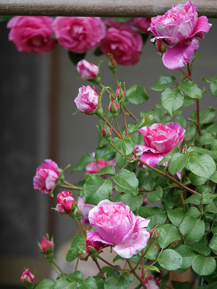 フランボワーズ バニーユ(ツルバラ)の花がたくさん咲いた。2020年-027.jpg
