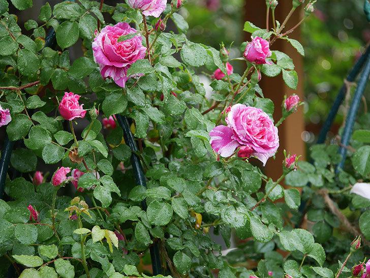 フランボワーズ バニーユ(ツルバラ)の花がたくさん咲いた。2020年-028.jpg