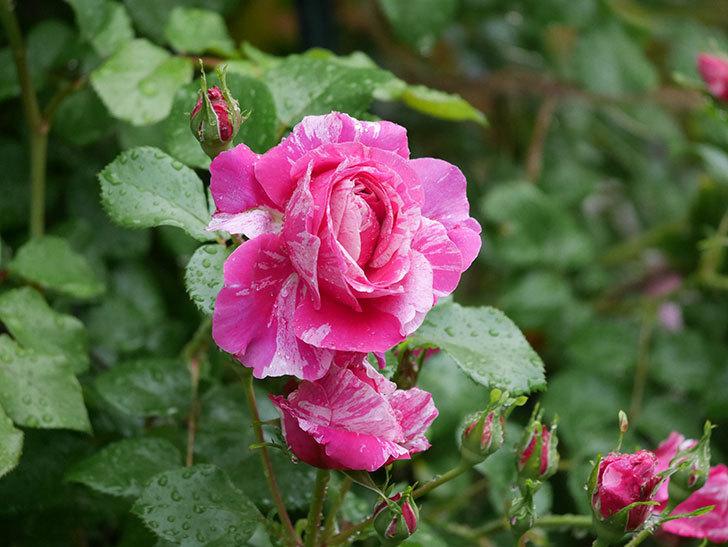 フランボワーズ バニーユ(ツルバラ)の花がたくさん咲いた。2020年-029.jpg