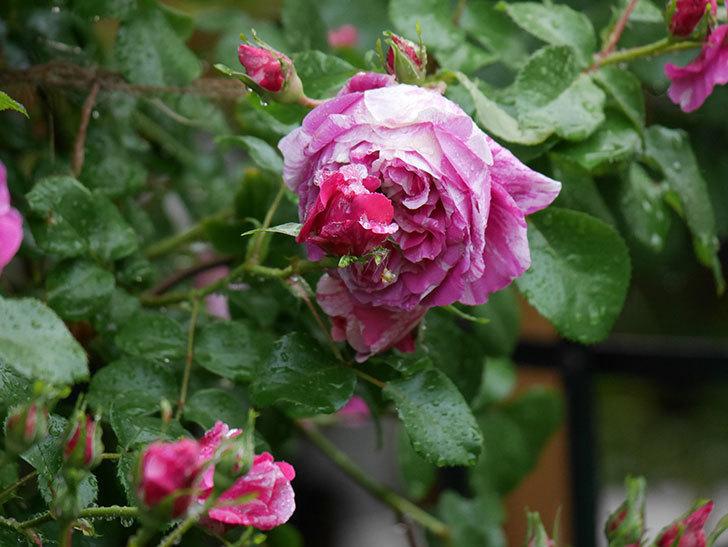 フランボワーズ バニーユ(ツルバラ)の花がたくさん咲いた。2020年-030.jpg