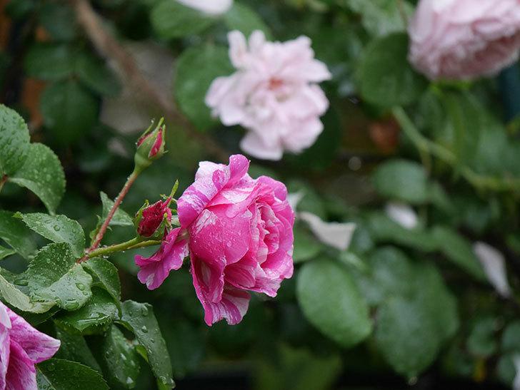 フランボワーズ バニーユ(ツルバラ)の花がたくさん咲いた。2020年-031.jpg