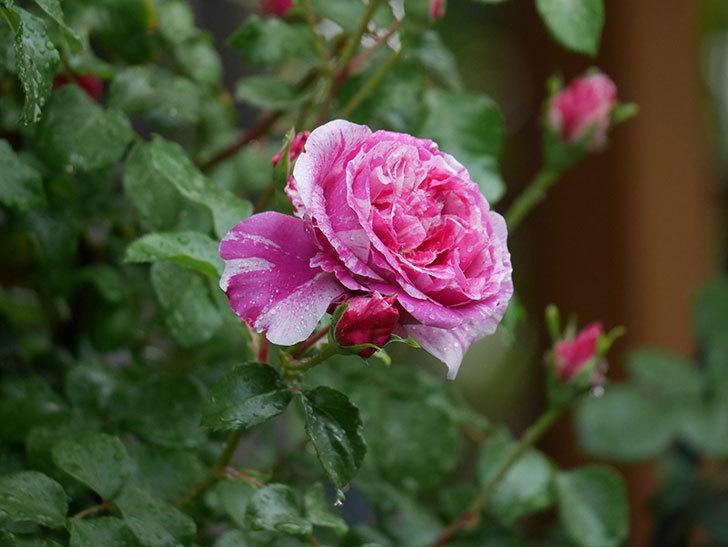 フランボワーズ バニーユ(ツルバラ)の花がたくさん咲いた。2020年-032.jpg