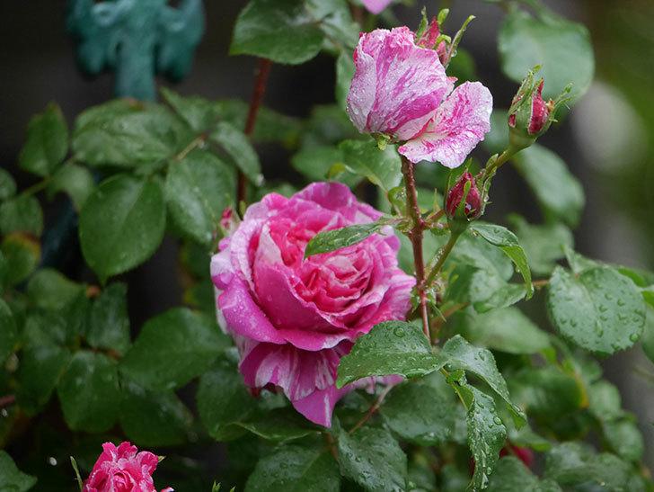フランボワーズ バニーユ(ツルバラ)の花がたくさん咲いた。2020年-033.jpg
