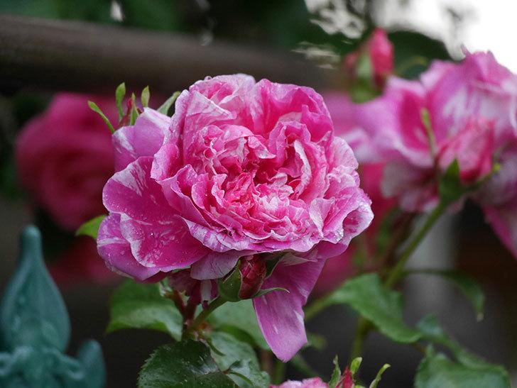 フランボワーズ バニーユ(ツルバラ)の花がたくさん咲いた。2020年-034.jpg