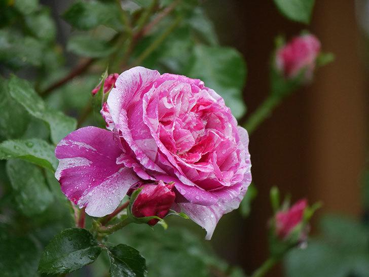 フランボワーズ バニーユ(ツルバラ)の花がたくさん咲いた。2020年-035.jpg