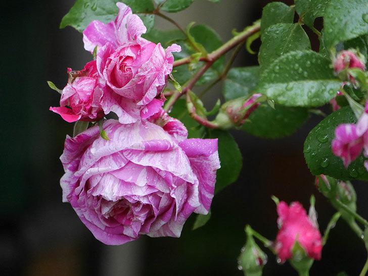 フランボワーズ バニーユ(ツルバラ)の花がたくさん咲いた。2020年-036.jpg