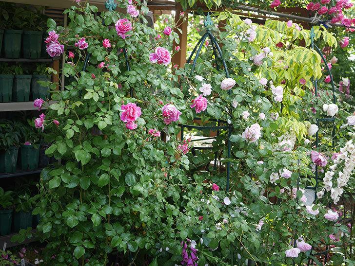 フランボワーズ バニーユ(ツルバラ)の花がたくさん咲いた。2020年-037.jpg
