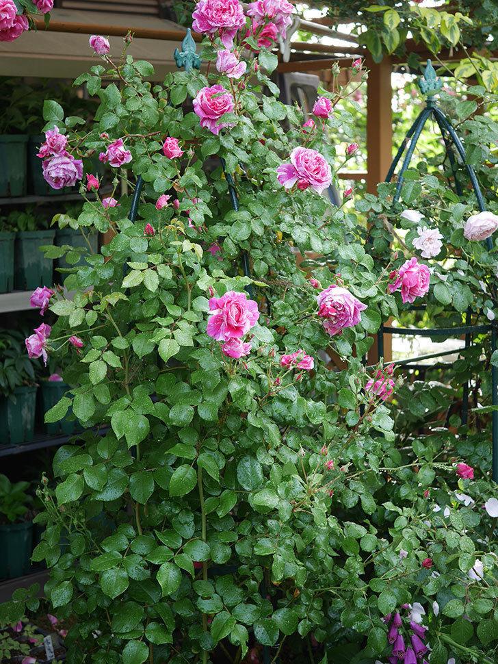 フランボワーズ バニーユ(ツルバラ)の花がたくさん咲いた。2020年-038.jpg