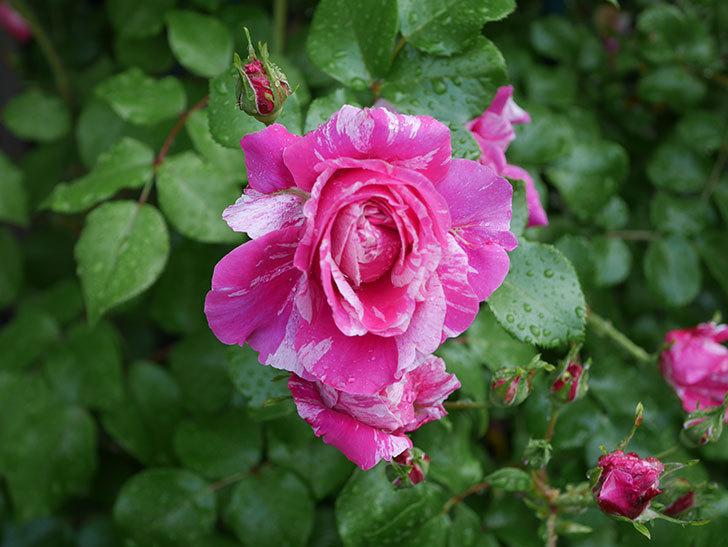 フランボワーズ バニーユ(ツルバラ)の花がたくさん咲いた。2020年-039.jpg