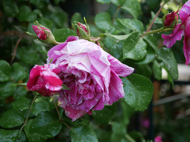 フランボワーズ バニーユ(ツルバラ)の花がたくさん咲いた。2020年-040.jpg