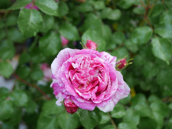 フランボワーズ バニーユ(ツルバラ)の花がたくさん咲いた。2020年-042.jpg