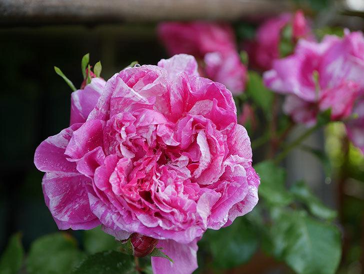 フランボワーズ バニーユ(ツルバラ)の花がたくさん咲いた。2020年-043.jpg