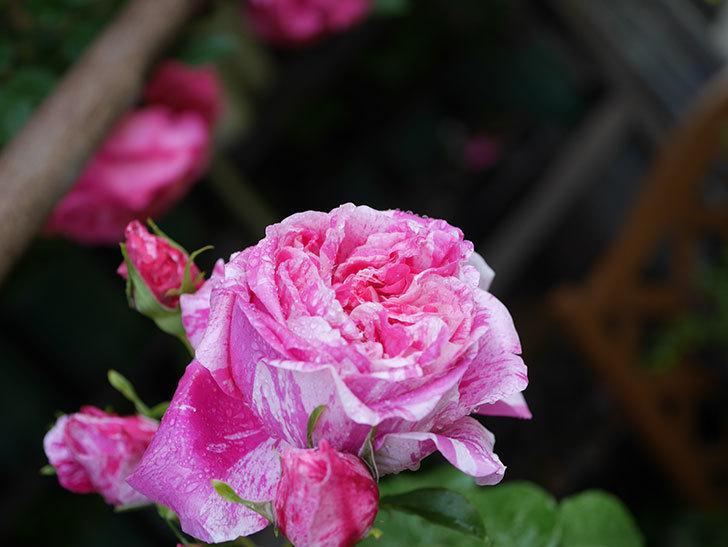 フランボワーズ バニーユ(ツルバラ)の花がたくさん咲いた。2020年-044.jpg