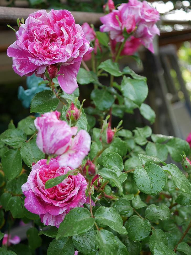フランボワーズ バニーユ(ツルバラ)の花がたくさん咲いた。2020年-045.jpg