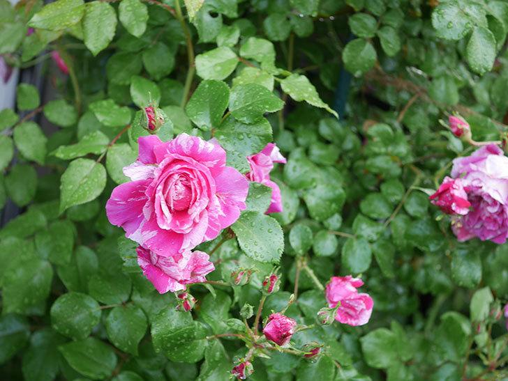 フランボワーズ バニーユ(ツルバラ)の花がたくさん咲いた。2020年-046.jpg