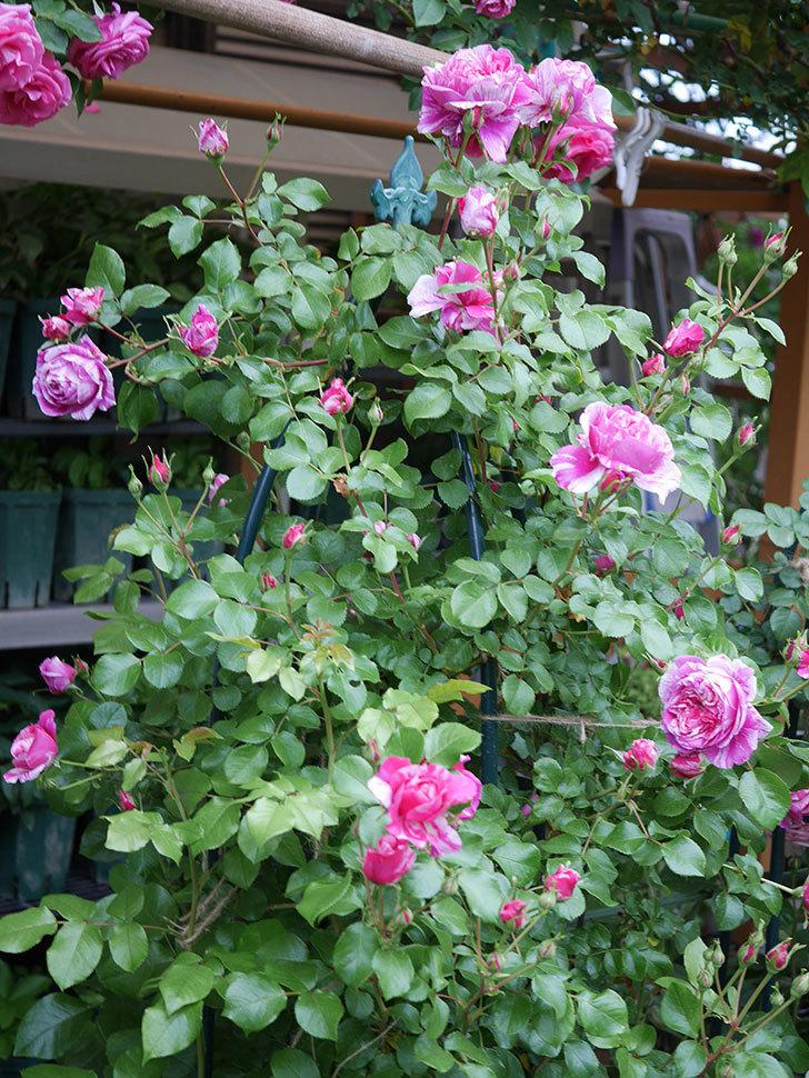 フランボワーズ バニーユ(ツルバラ)の花が増えてきた。2020年-1.jpg