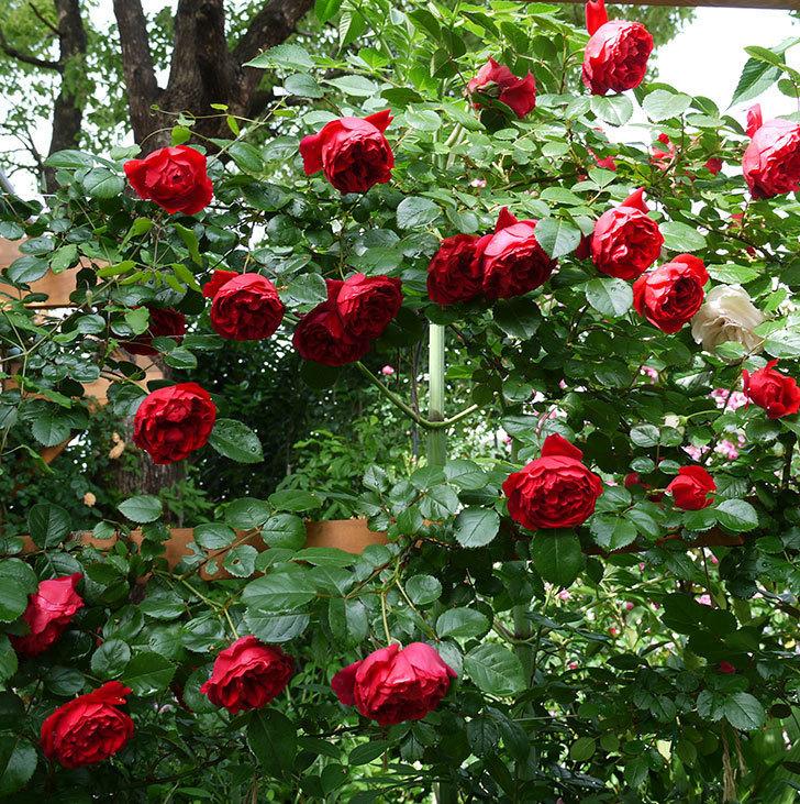 フロレンティーナ(ツルバラ)がたくさん咲いた。2017年-1.jpg