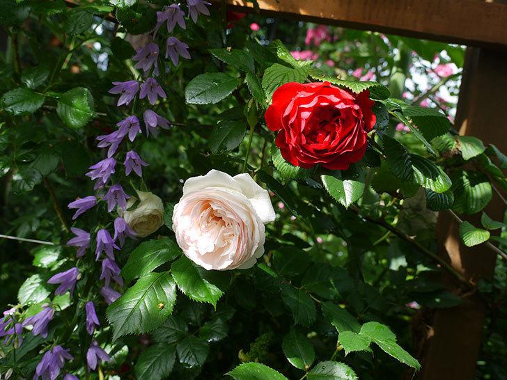 フロレンティーナ(ツルバラ)がたくさん咲いた。2017年-6.jpg
