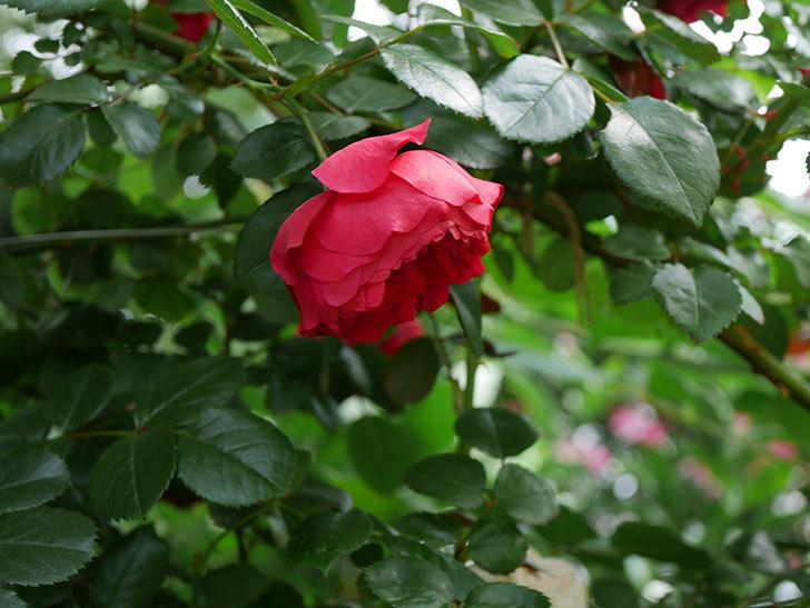 フロレンティーナ(ツルバラ)がたくさん咲いた。2018年-18.jpg