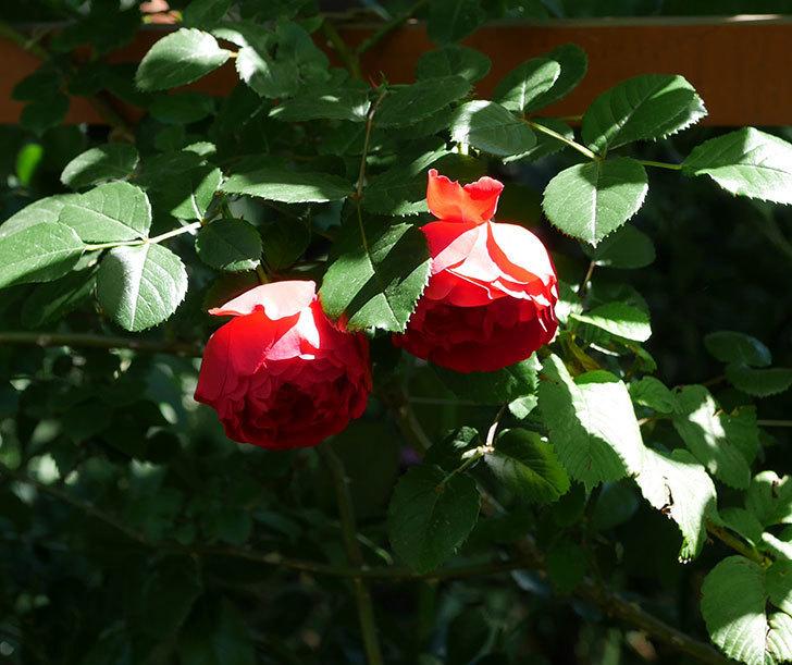 フロレンティーナ(ツルバラ)がたくさん咲いた。2018年-2.jpg